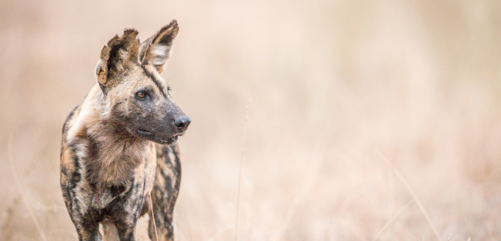 Enza Safari - Blog - Africa's Painted Wolves - Everything you Need to Know about Protecting African Wild Dogs